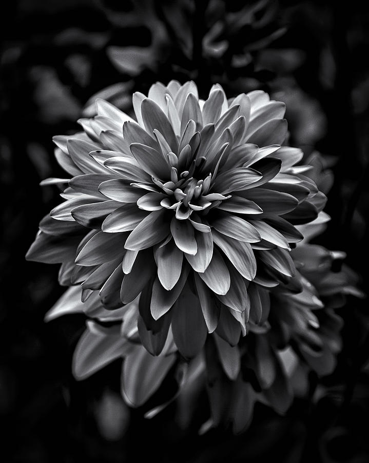 Abstract Photograph - Backyard Flowers In Black And White 15 by Brian Carson