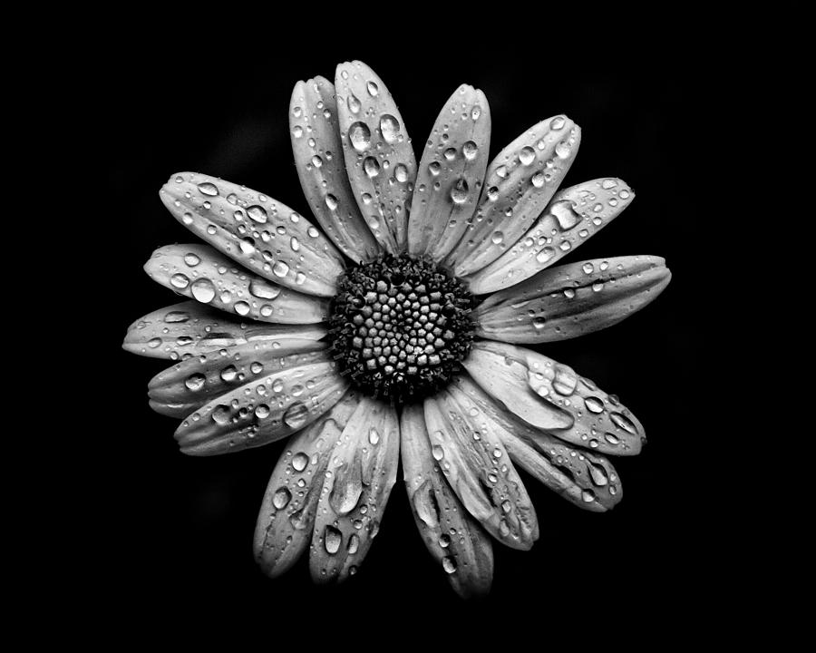Abstract Photograph - Backyard Flowers In Black And White 16 After The Storm by Brian Carson