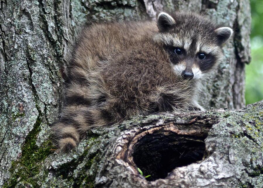 Backyard Raccoon Photograph by Frozen in Time Fine Art ...