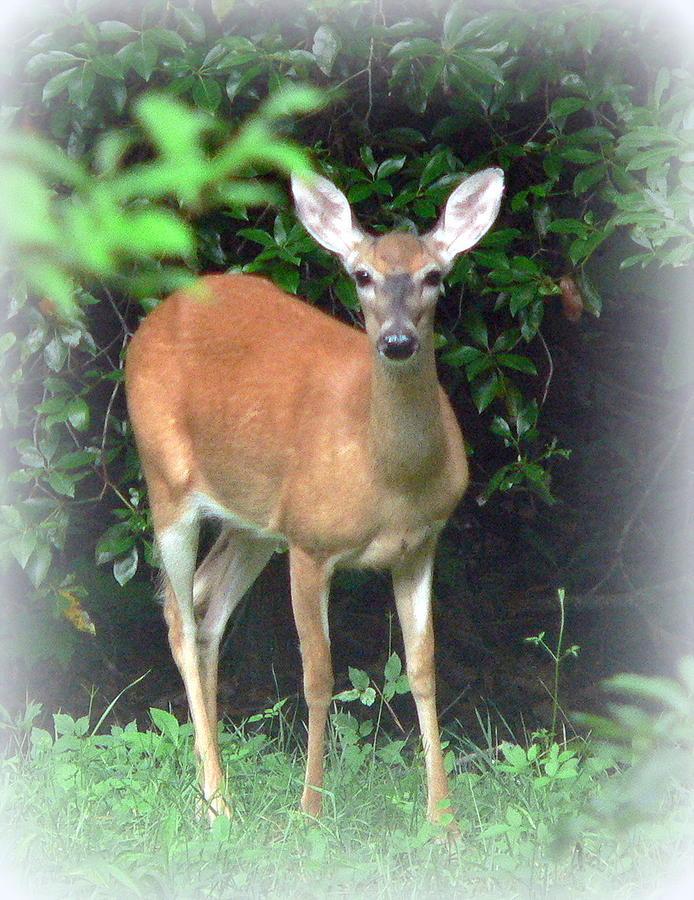 Wildlife Photograph - Backyard Whitetail Deer by Jo Anna Wycoff