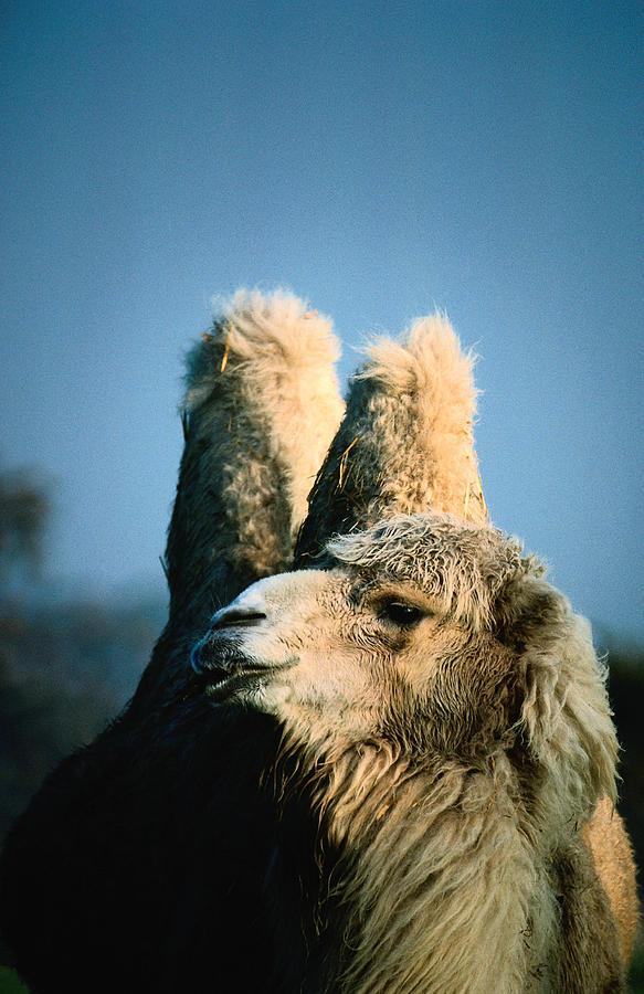 Bactrian Camel Camelus Bactrianus Photograph by John Hay