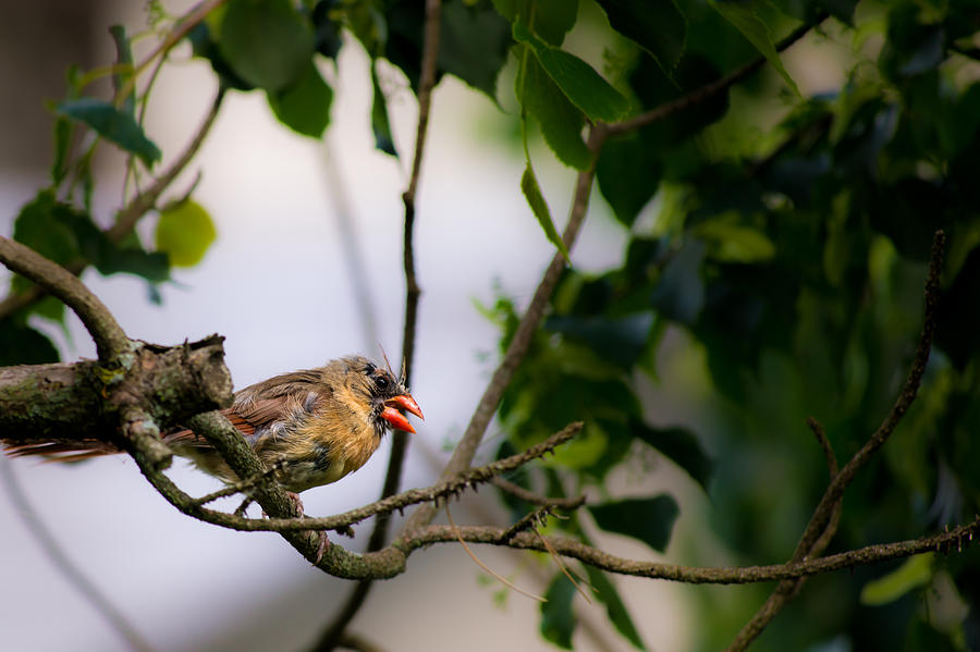 Art Photography Photograph - Bad Hair Day-female Northern Cardinal by  Onyonet  Photo Studios