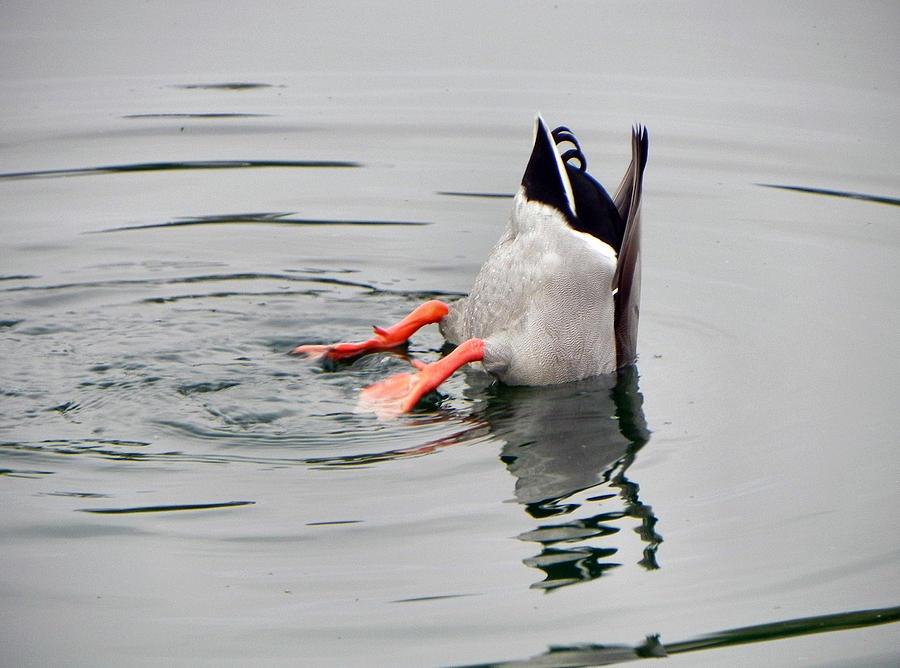 Duck Photograph - Bad Landing by Deb Halloran