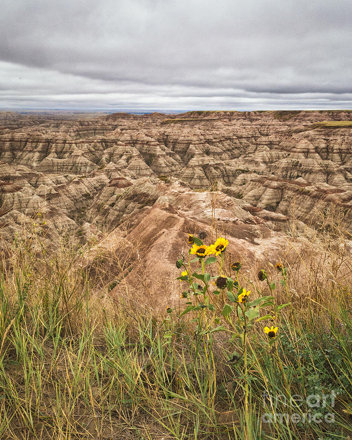 Badlands Wild Sunflowers by Sophie Doell