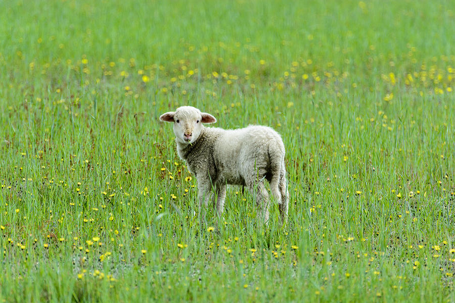 Sheep Photograph - Bahhhhh by David Yack