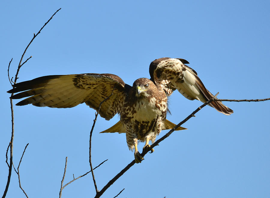 Red Tailed Hawk Photograph - Balancing Act 3 by Fraida Gutovich