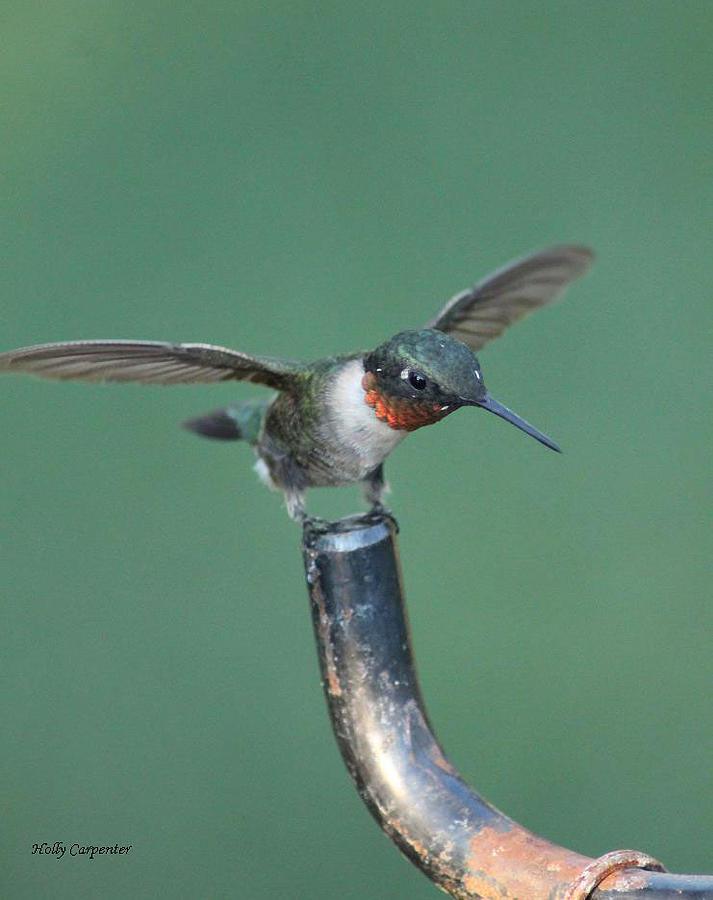 Hummingbird Photograph - Balancing Act by Holly Carpenter