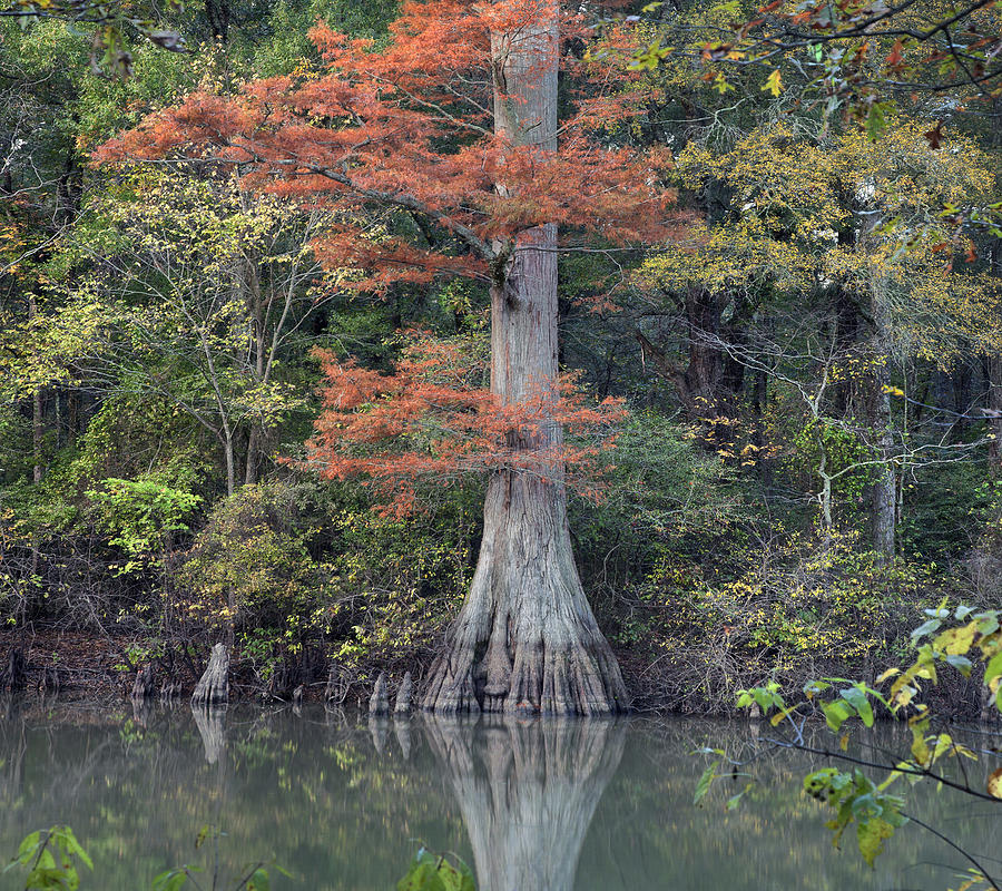Bald Cypress In White River Nrw Arkansas Photograph by Tim Fitzharris