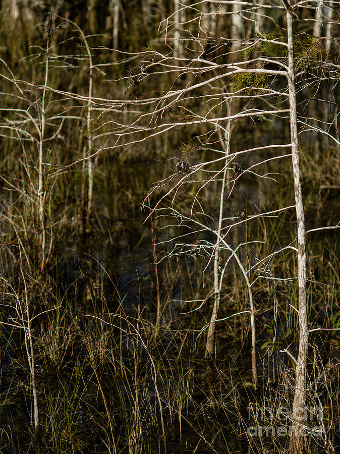 Bald Cypress Trees Photograph - Bald Cypress Trees by Tracy Knauer