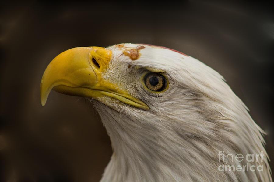 Eagle Photograph - Bald Eagle 1 by Steven Parker