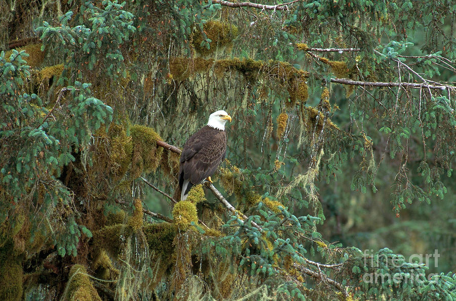 Animal Photograph - Bald Eagle by Art Wolfe