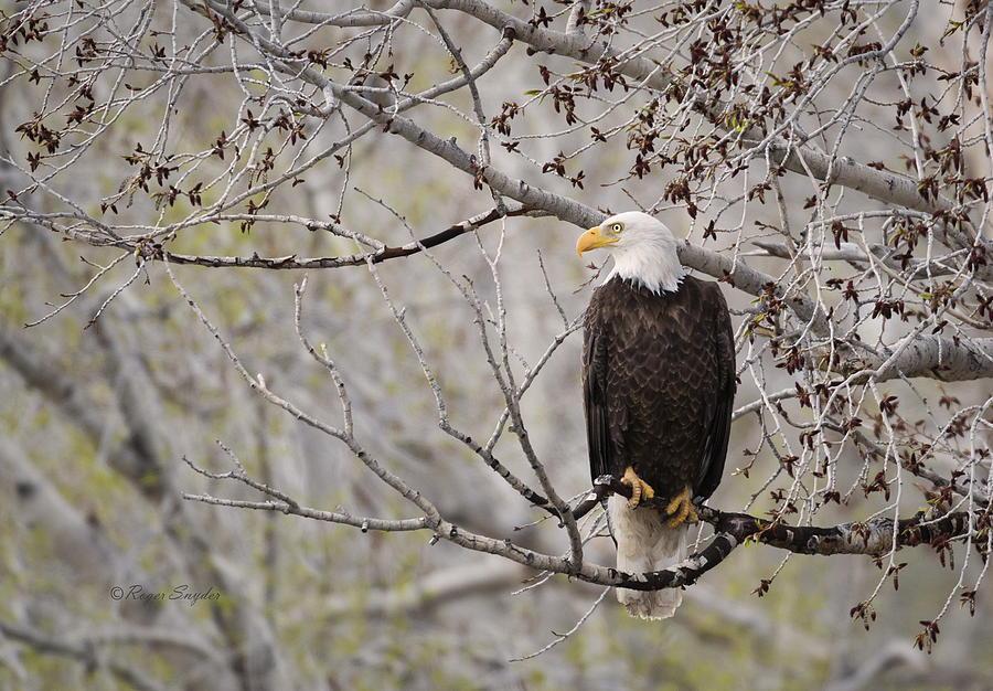 Beautiful Photograph - Bald Eagle At Belfry Mt by Roger Snyder