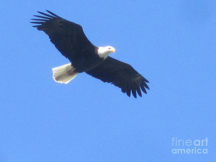 Bird Painting - Bald Eagle At Lake Rowena by Jeffrey Koss