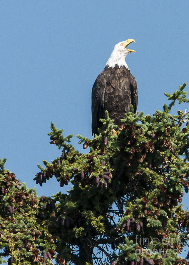 Nature Photograph - Bald Eagle by Bob Dowling