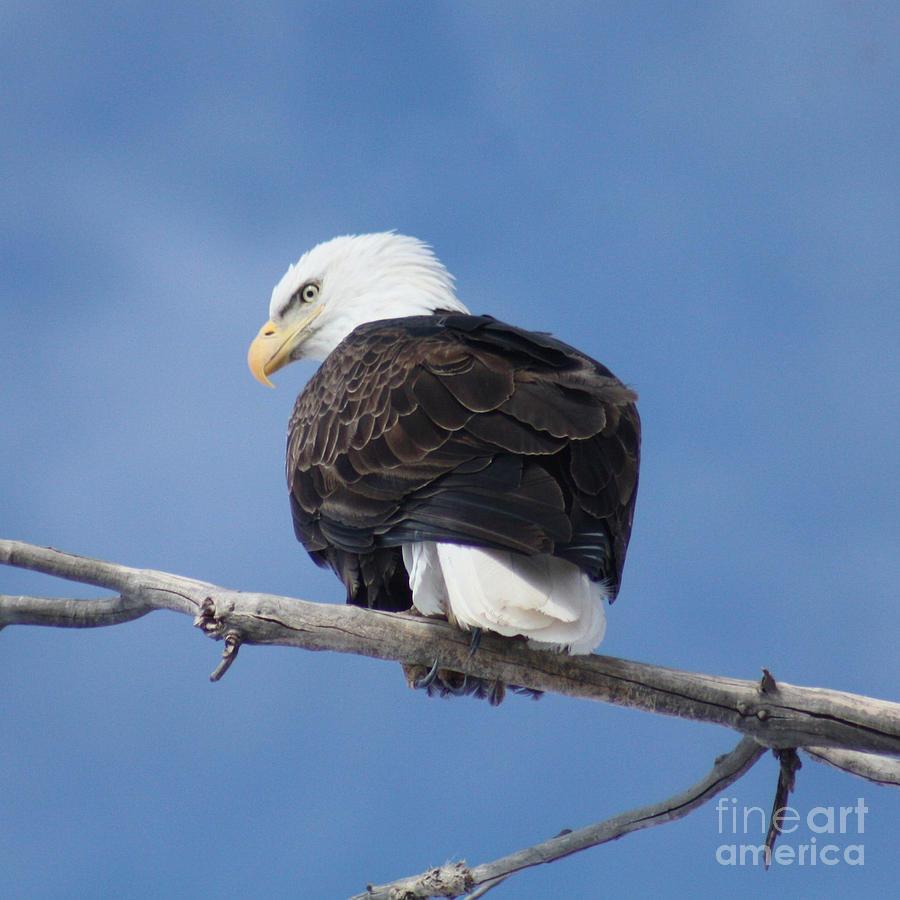 Bald Eagle Photograph - Bald Eagle by Brandi Maher