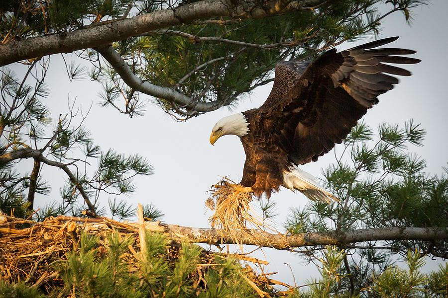 Bald Eagle building nest Photograph by Everet Regal