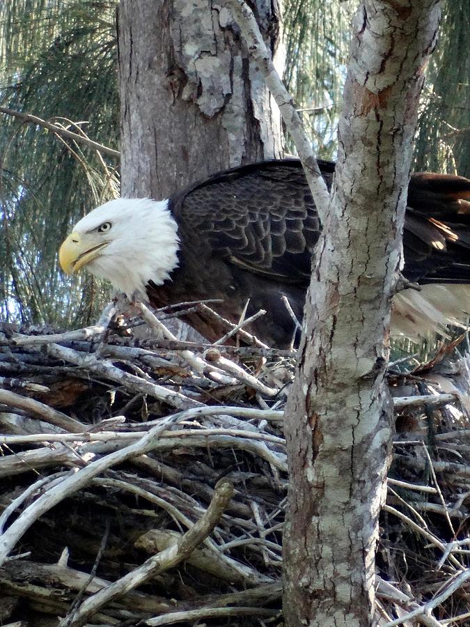 Bald Eagle Building Nest Photograph by Frederic BONNEAU ...