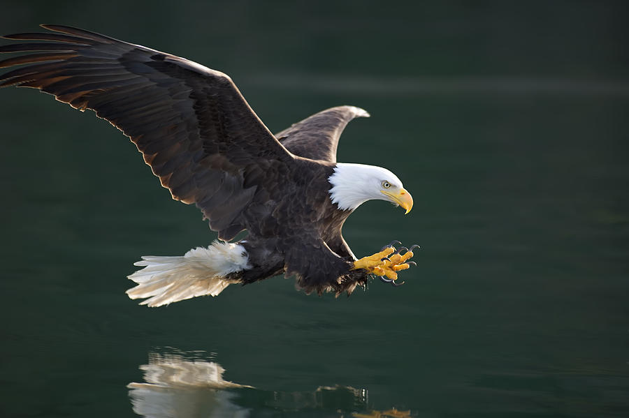 Bald Eagle Catching Fish Photograph By John Hyde