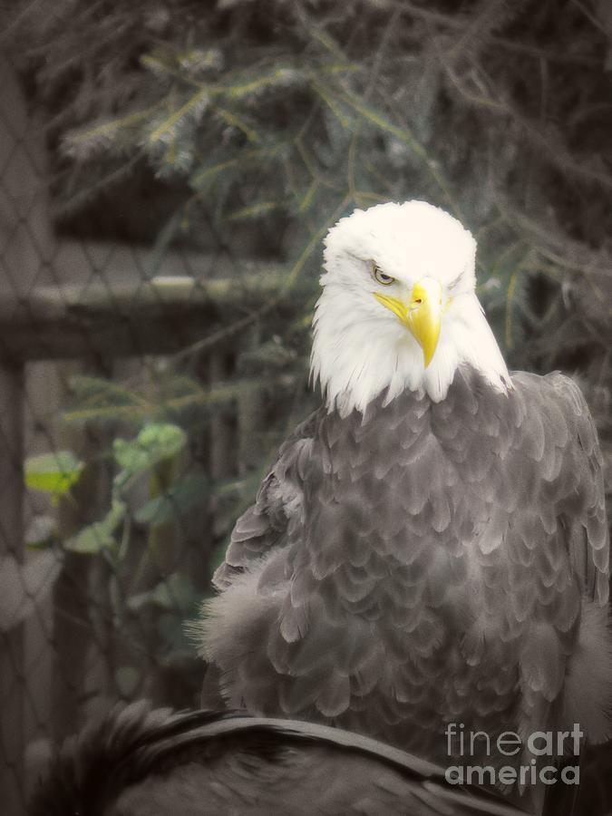 Eagle Photograph - Bald Eagle by Dawn Gari