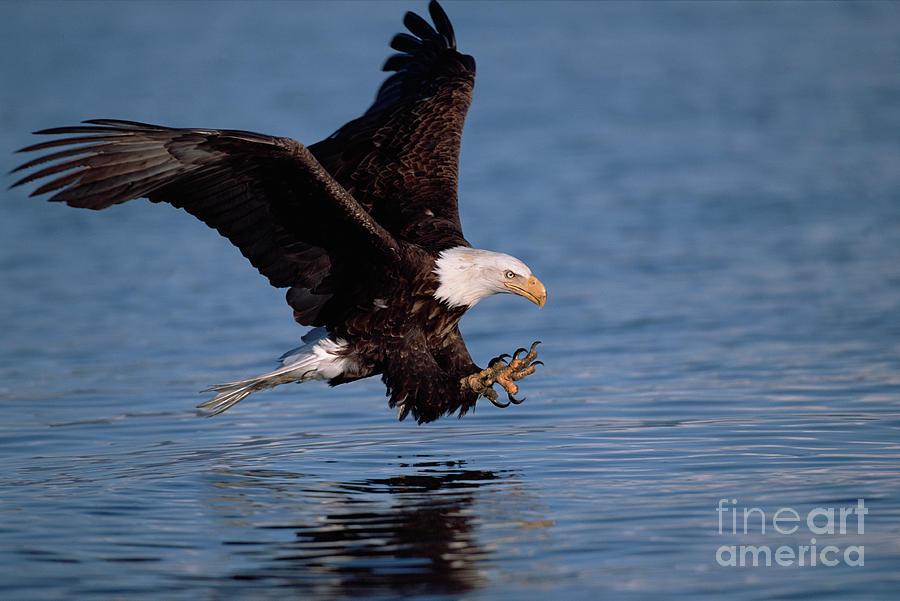 Bald Eagle Fishing, Kenai  Photograph by Yva Momatiuk John Eastcott