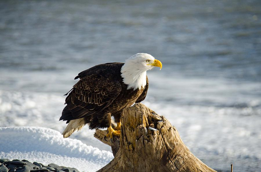 Bald Eagle Photograph - Bald Eagle Homer Spit Alaska by Debra  Miller