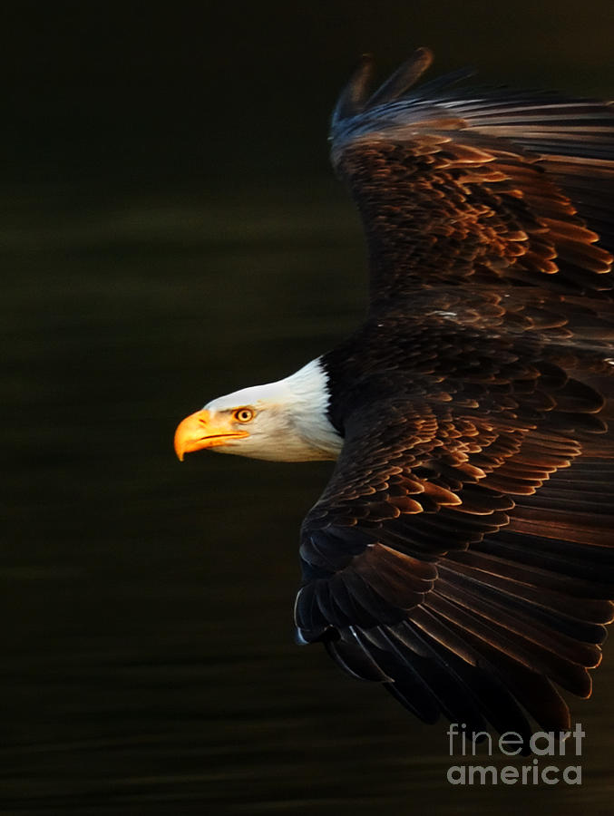 Eagle Photograph - Bald Eagle In Flight by Bob Christopher