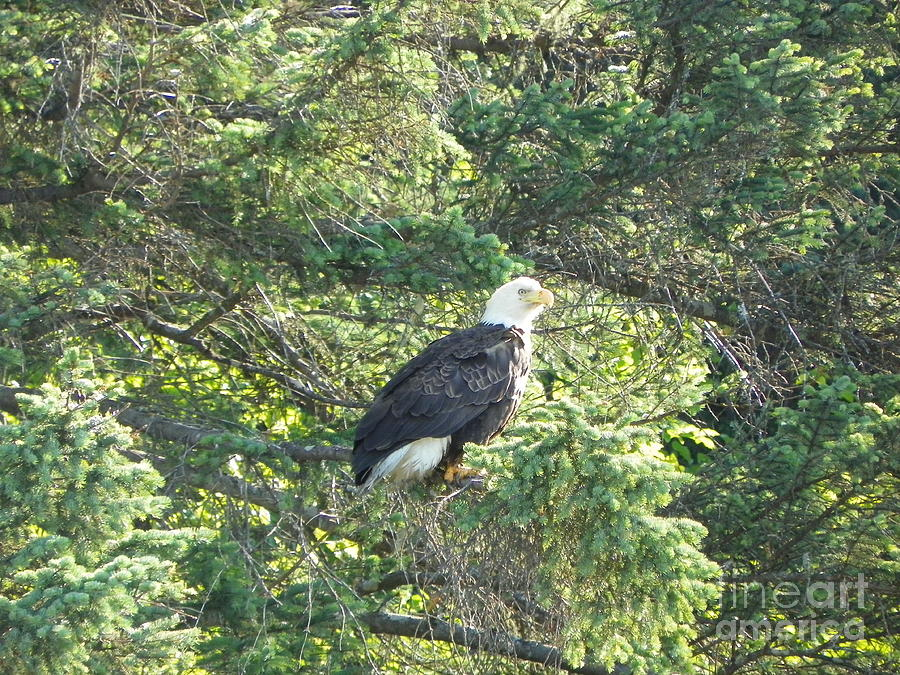 Bald Photograph - Bald Eagle by Jennifer Kimberly
