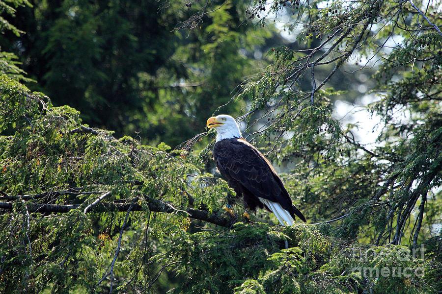 American Photograph - Bald Eagle by Kathy Eastmond
