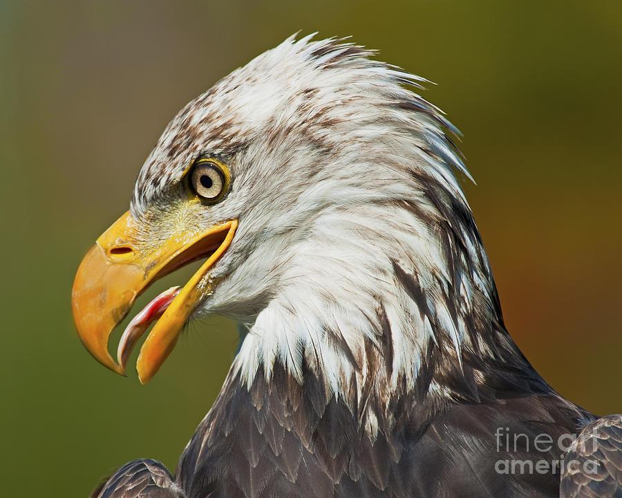 Nikon Photograph - Bald Eagle... by Nina Stavlund