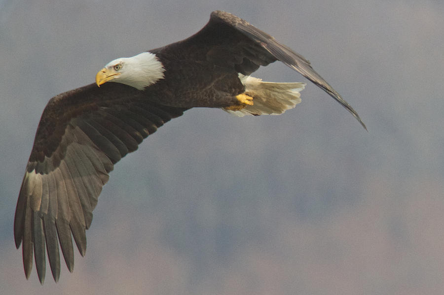 Bird Photograph - Bald Eagle On The Wing by Stanley Klein