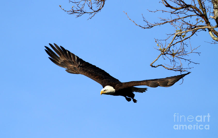 Bald Photograph - Bald Eagle Out Of The Tree by Darrin Aldridge