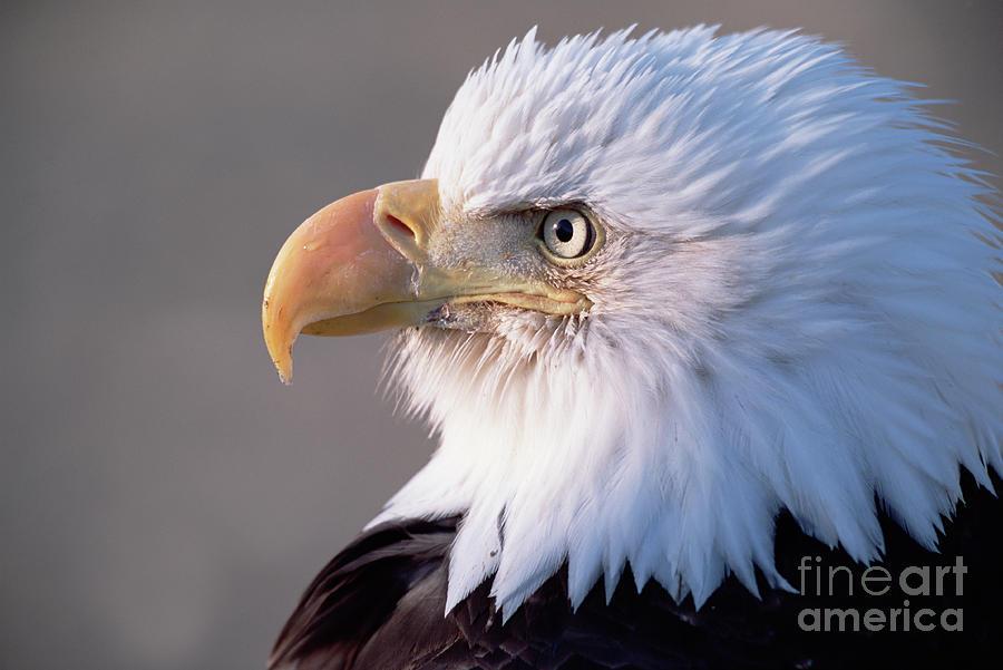 Bald Eagle, Alaska Photograph by Yva Momatiuk and John Eastcott