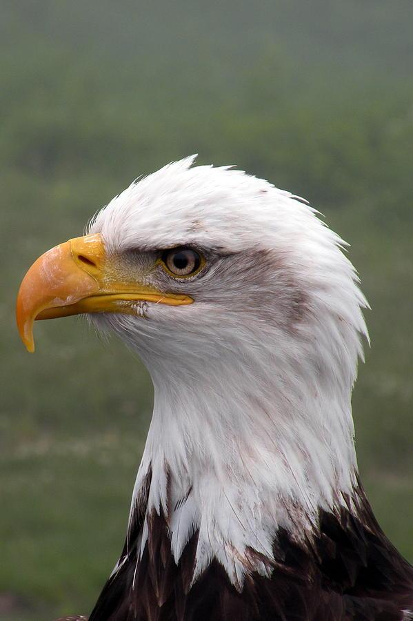 Photographs Photograph - Bald Eagle Portrait by Brian Chase