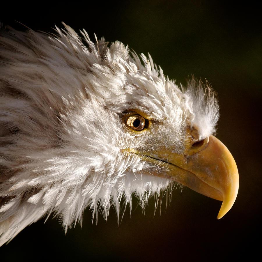 Eagle Photograph - Bald Eagle Portrait by Michael Underhill