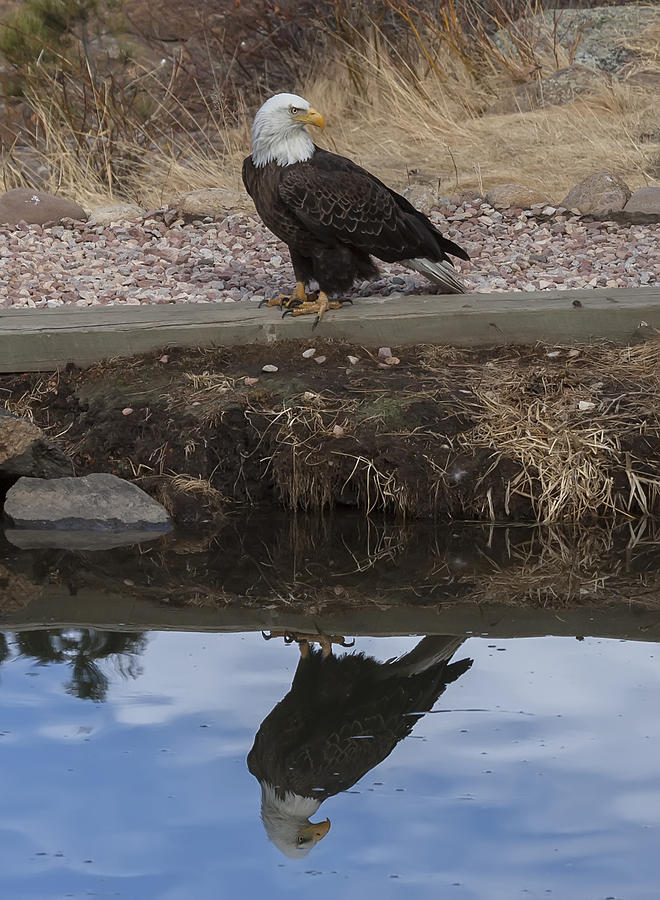 Bald Eagle Reflection by Perspective Imagery