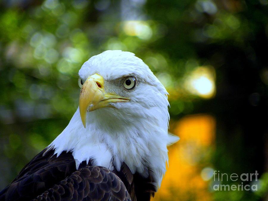 Bald Photograph - Bald Eagle by Terri Mills