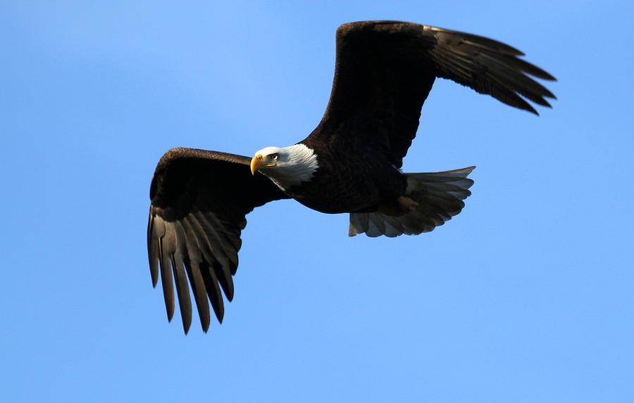 Bald Eagle The Symbol Of America Photograph By Darrin Aldridge