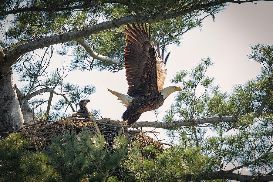 Bald Eagle Photograph - Bald Eagle With Eaglet by Everet Regal