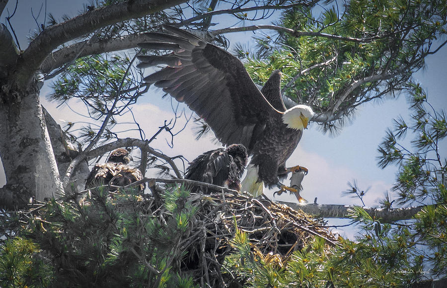 Bald Eagle With Eaglets And Fish Photograph