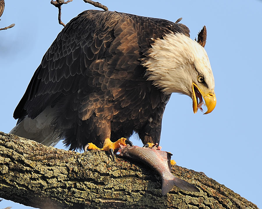 Wildlife Digital Art - Bald Eagle With Fish by Angel Cher