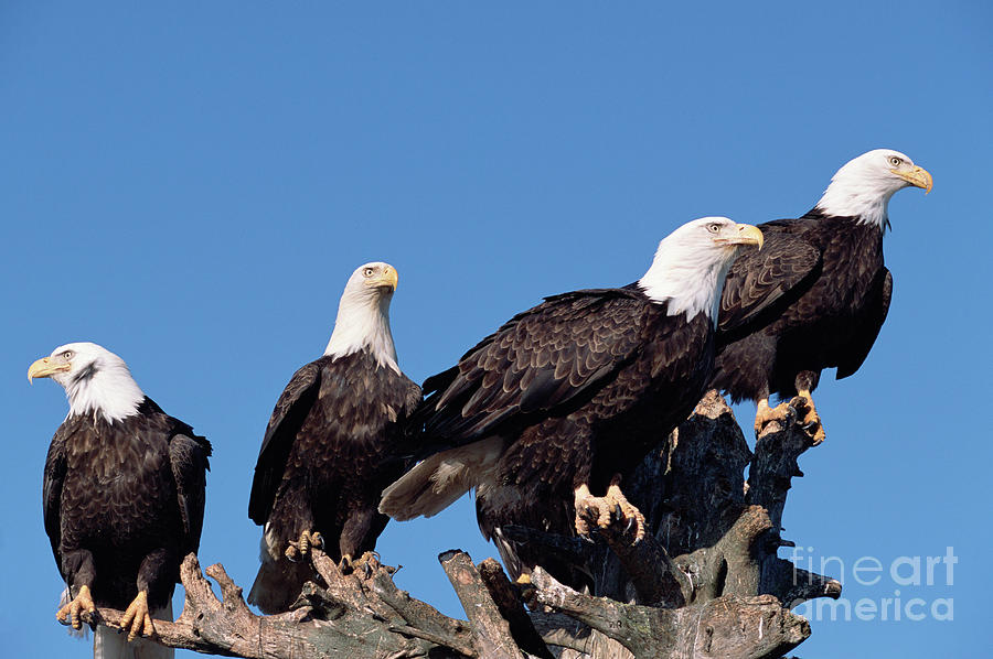 Mp Photograph - Bald Eagles Quartet by Yva Momatiuk and John Eastcott