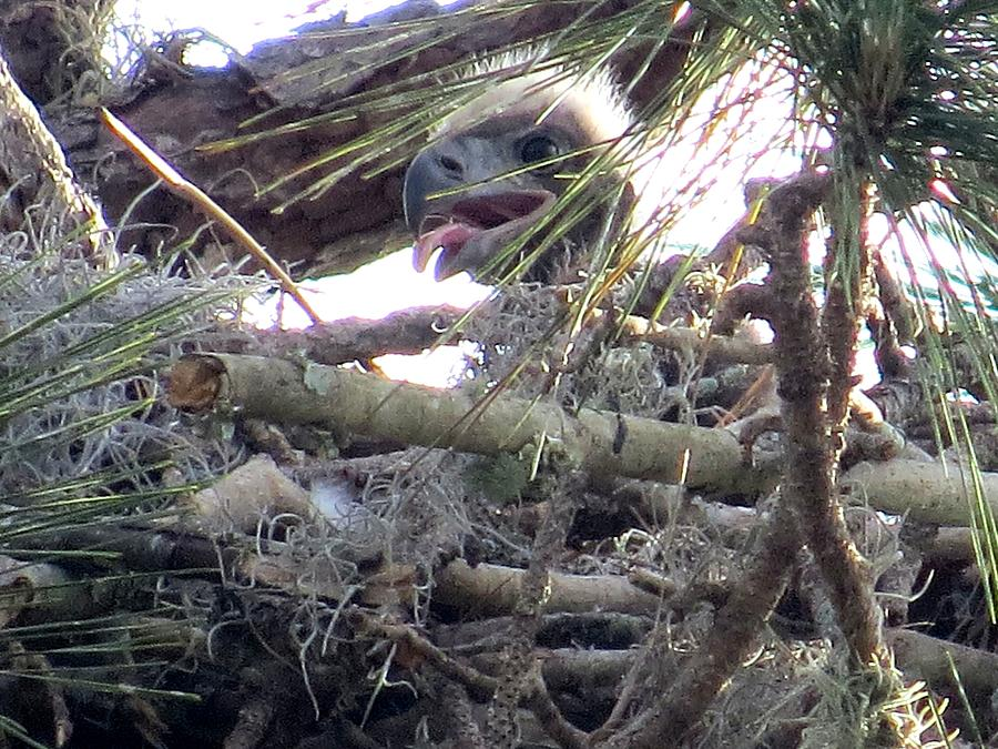 Bald Eagle Photograph - Bald Eagles Chick by Zina Stromberg