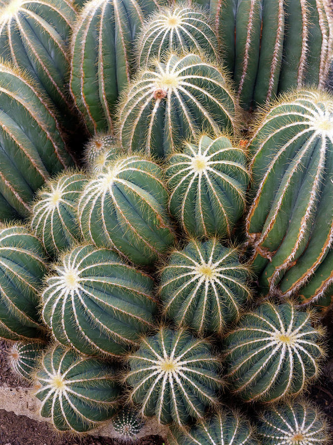 Ball Cactus Photograph - Ball Cactus (parodia Magnifica) by Daniel Sambraus/science Photo Library