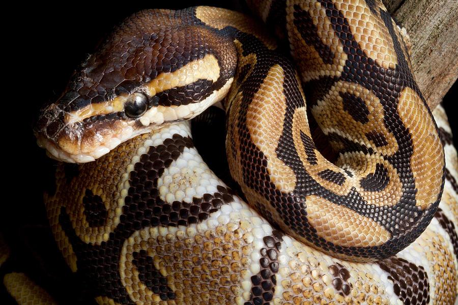 Ball Python Photograph - Ball Python Python Regius by David Kenny