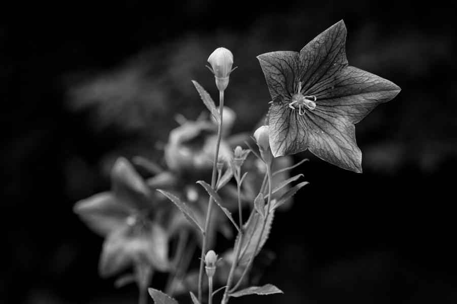 Flower Photography Photograph - Balloon Flower  by Ben Shields
