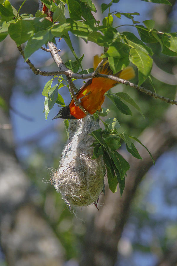 Baltimore Oriole Photograph - Baltimore Oriole And Nest by Jill Bell