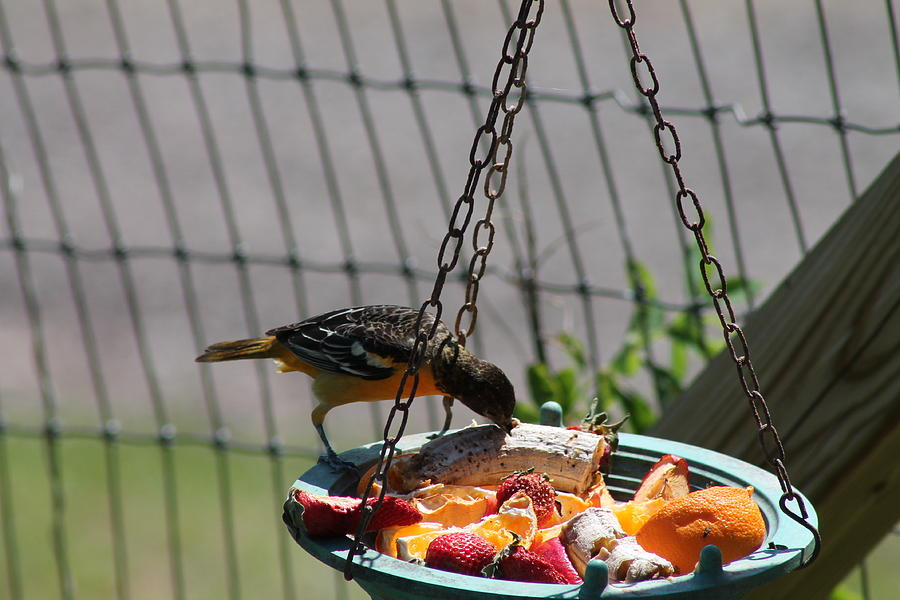 Bird Photograph - Baltimore Oriole Fruitplate by Margo Miller
