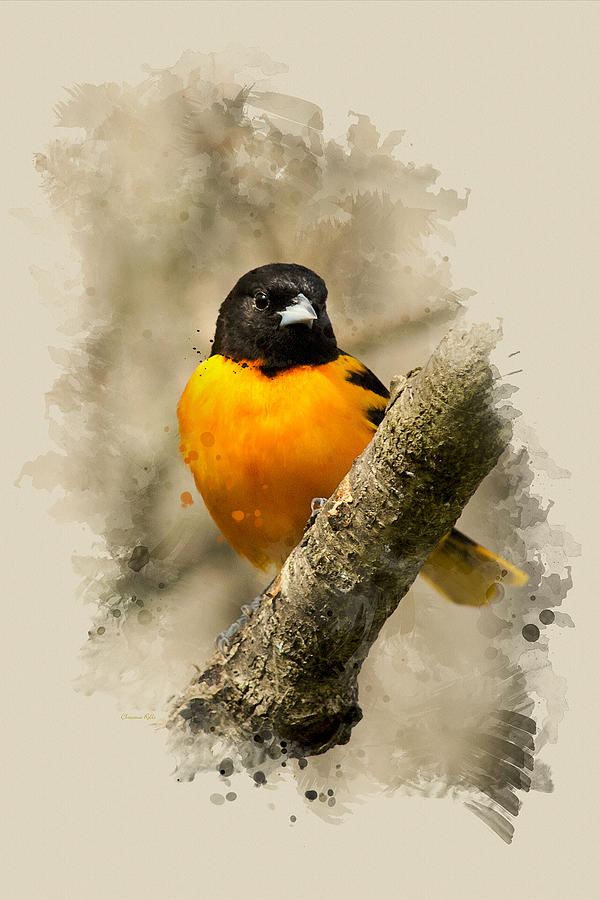 Baltimore Oriole Mixed Media - Baltimore Oriole Watercolor Art by Christina Rollo