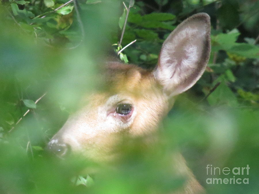 Wildlife Photograph - Bambi In The Woods by David Lankton