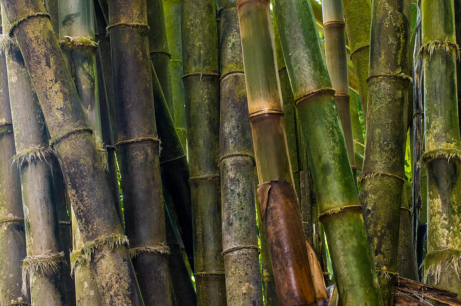 Bamboo by Avian Resources